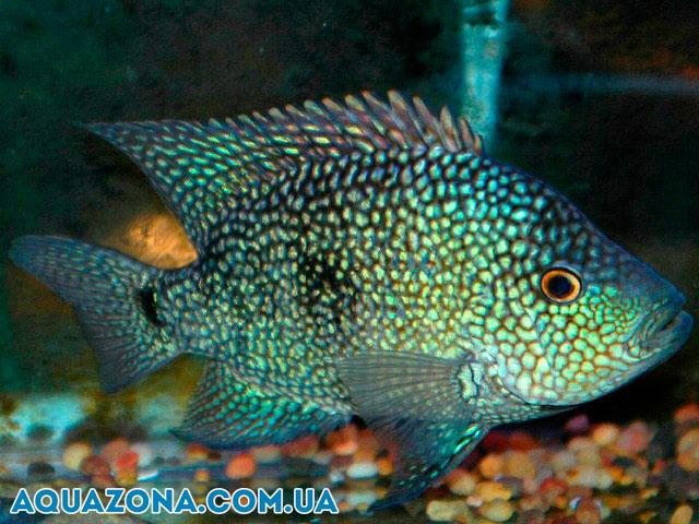 крупные аквариумные рыбы фото
