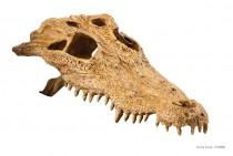 Фото 1 - Exo Terra Декорация череп крокодила